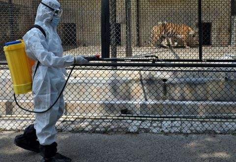 COVID-19: Social distancing for India zoo's tigers over virus fears